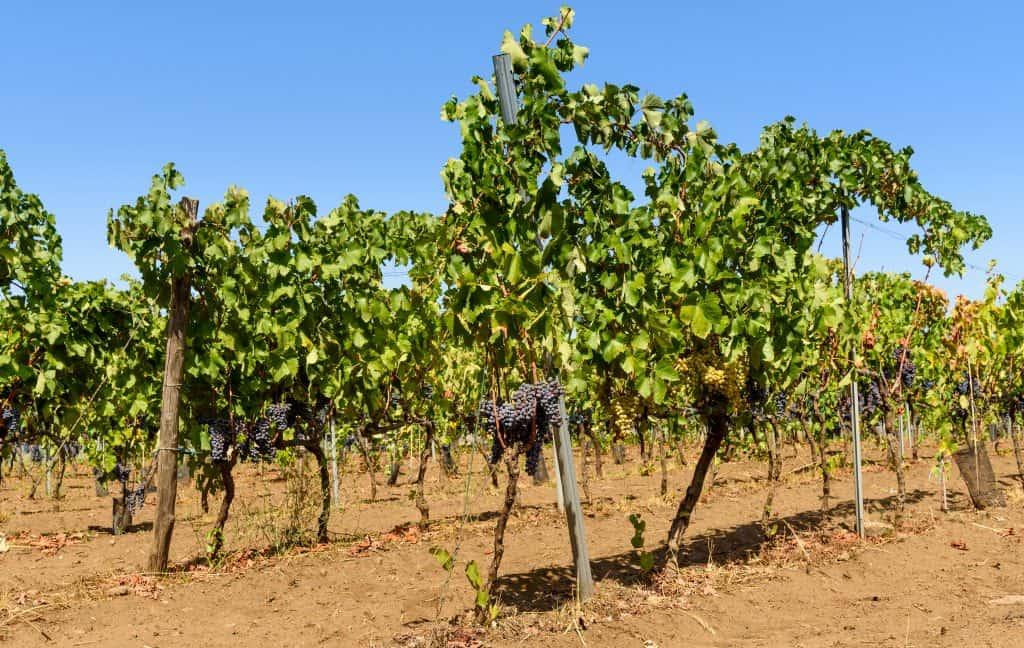 Wijngaard met rode druiven op Sicilië bij de Etna vulkaan