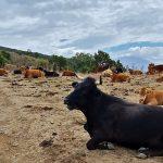 mucche nebrodi